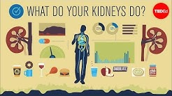 hqdefault - What Job Does The Kidney Do As An Excretory Organ