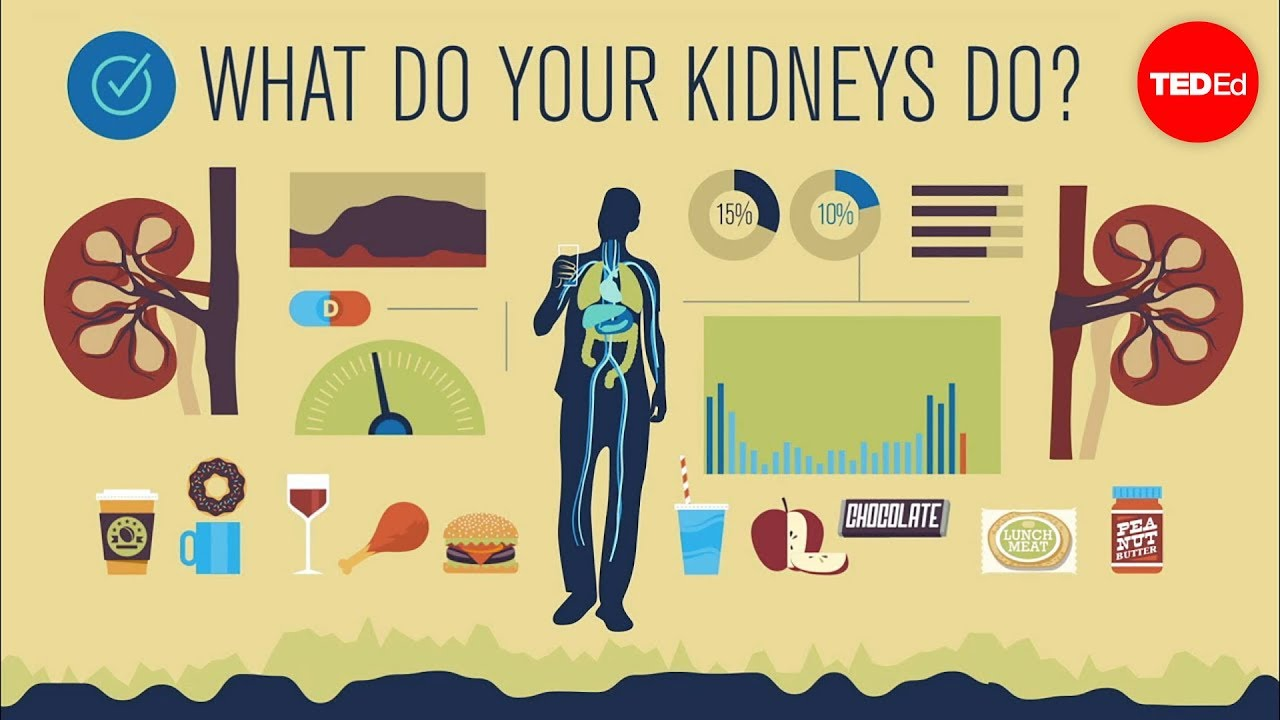 how do your kidneys work? - emma bryce - youtube, Human Body