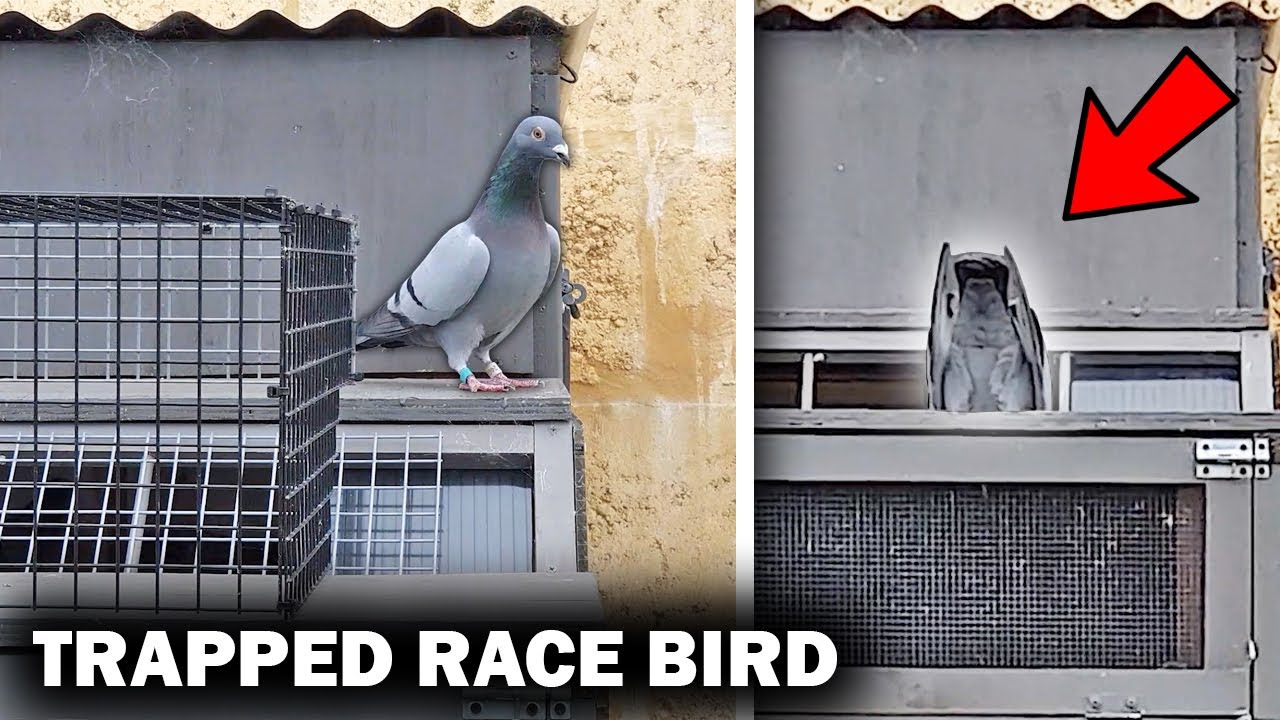 TRAPPED A SPECIAL PIGEON  RACE BIRD