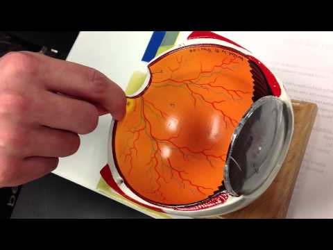 Optic Disc, Macula Lutea, Fovea Centralis, Rods And Cones