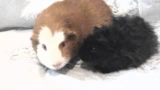 Мои морские свинки Рики и Феликс разговаривают ♡(Мои морские свинки разговаривают ,это так мило., 2015-02-27T11:09:28.000Z)