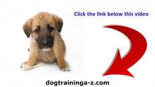 Barking Silky Terrier Problem - Barking Is The Pain Of The Silky Terrier Temperament