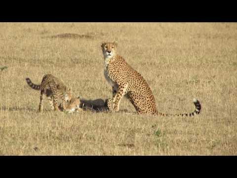 Cheetah killing Thompson's gazelle, Masai Mara, Kenya