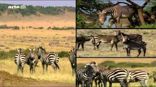 Zebras auf Wanderschaft - Arte - Teil 1 von 3