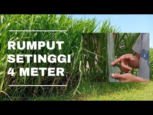 Umur Tiga Bulan, Tinggi Rumput Ini Mencapai EMPAT METER!!! Calon VUB Bioprofit & Biograss