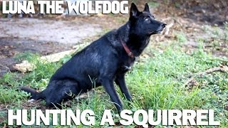 Wolfdog hunting a Squirrel