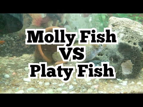 Molly Fish Vs Platy Fish.. Who Is The Best Fish..
