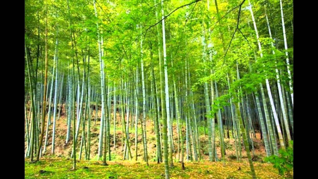 картинки бамбук фото