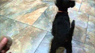 10 Wk Old Black Female Miniature Schnauzer Puppy - Available