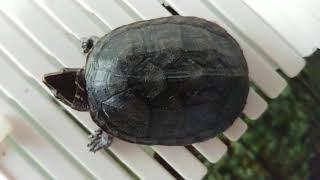 191011 자작 육지에서 쉬고있는 거북이 커먼머스크 …