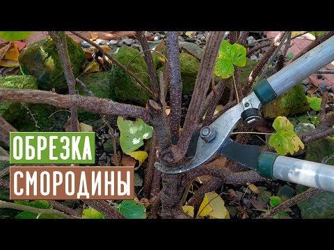 СМОРОДИНА 🌱 Правильная обрезка повысит урожай!!! / Садовый гид
