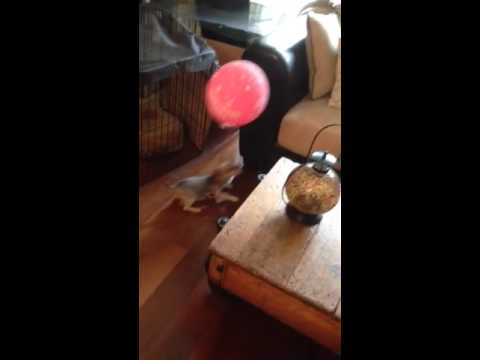 Cutest dog chases balloon