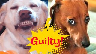 Funny Guilty dogs compilation 2020 #cute #fluffy #funny