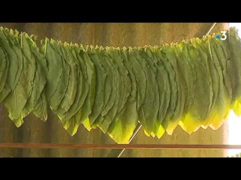 La récolte du tabac en Suisse