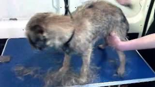 Border Terrier Handstrip.3gp