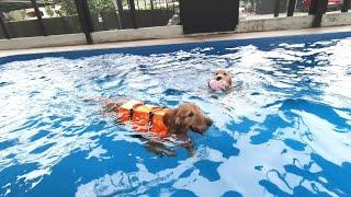 [Golden Retriever] 태국생활|수영장에 간…