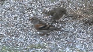 Olika fåglar vid mitt fågelbord blandannat Stjärtmes, Steglits, Större Hackspett, Järnsparv mm.