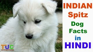 INDIAN Spitz Dog Facts In Hindi : Popular Dogs : Dogs And Facts : T...