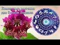 Комнатные растения для Знаков Зодиака 🌹 Стрептокарпусы с бутонами в посылке в адскую жару  📦
