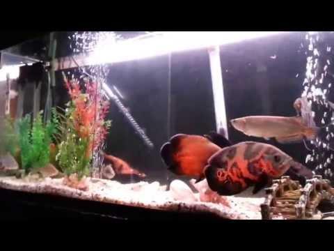Tilapia and Red Jewel Tank Mates