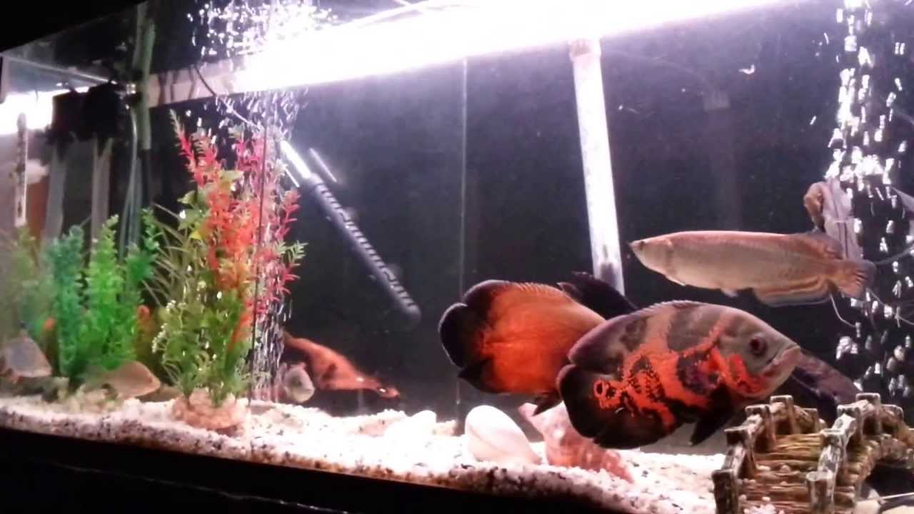 Watch as well Collectionodwn Oscar Fish Tank moreover Blue Ram Cichlid Care Guide together with Bala Shark Fish further Watch. on oscar fish tankmates