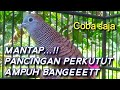 Suara Terapi Perkutut Lokal  Mp3 - Mp4 Download