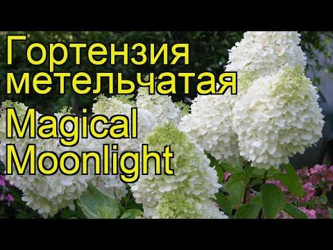 Гортензия метельчатая Magical Moonlight. Краткий обзор, описание характеристик