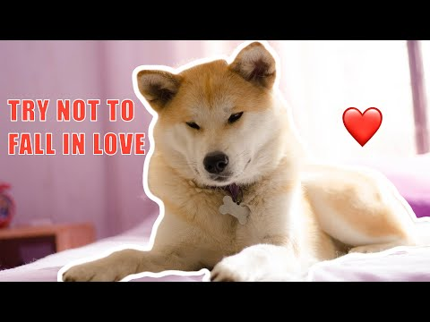 The Cutest and Funniest Akita Inu Puppies Compilation 2020! Try not to fall in love Challenge!