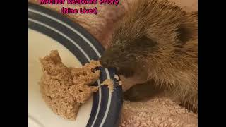 Tiny Holget rescued from Caddington in very poor health - Hornbeam Wood Hedgehog Sanctuary