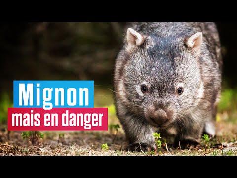Le wombat, le marsupial le plus mignon du monde est en danger