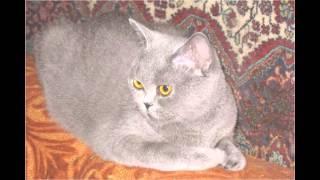 Британские плюшевые котята.