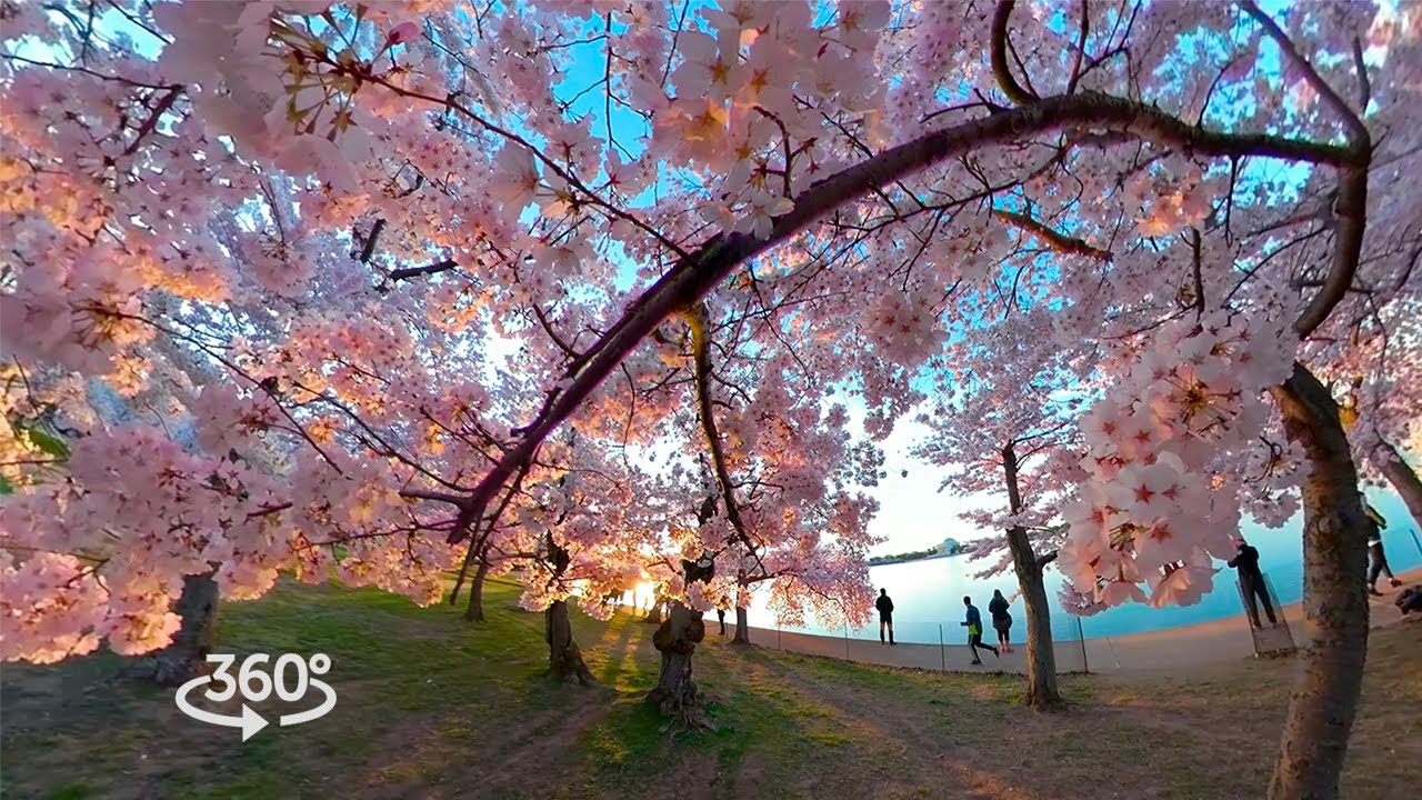 Washington Dc S Cherry Blossoms In A Vr Time Lapse Youtube