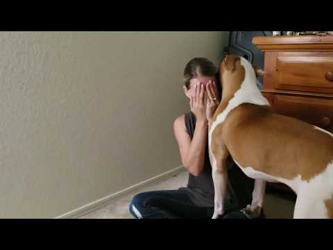 American bulldog comforting wife as she fake cries. Best Dog Breed.