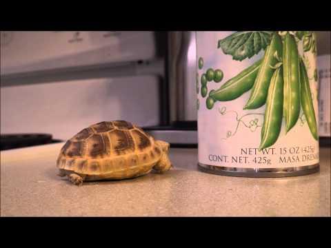 Greek Tortoises: The Pet For You!