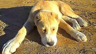 Среднеазиатская овчарка - Алабай - 3 месяца