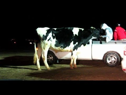 hollywild cow scares macie