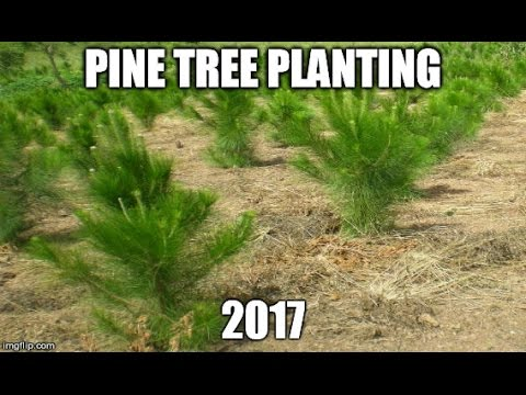 Pine Tree Planting, Clear Cut Area EP#2 2017