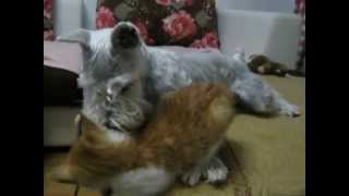 Dog Protects Kitten From Falling