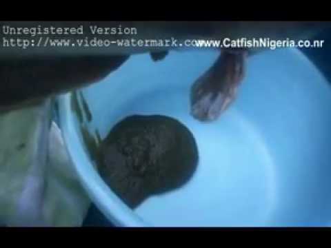 Catfish Farming In Ibadan, Nigeria