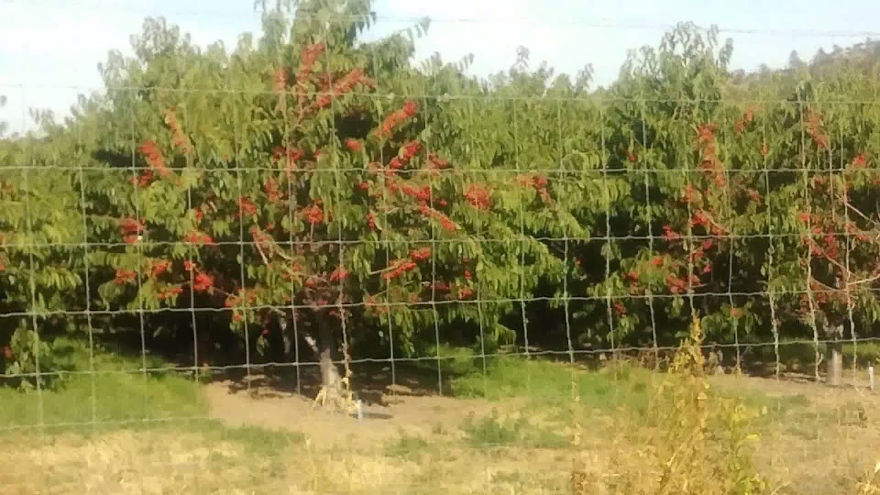 Arboles de Cherry the Dalles Oregon YouTube