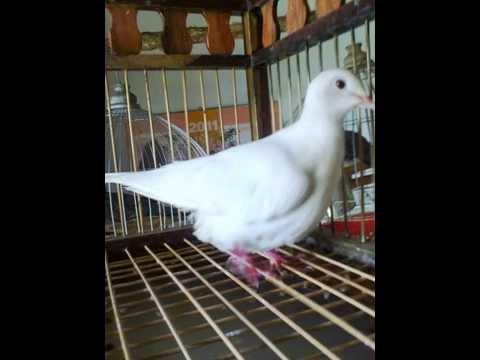 chim cu bạch tạng lông trắng,chân đỏ,mỏ hồng,mắt hông.ai co nhu cầu liên hệ đt:01667602747