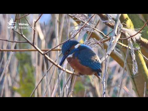 Kingfisher Hunting For Fish And Perching | WWT Welney