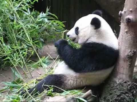 cute panda eating bamboo youtube