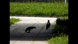 Živali - srake, ptički, račke, kormorani
