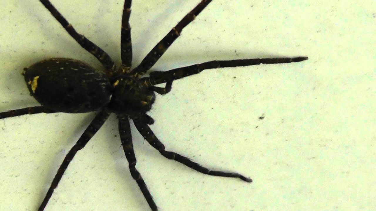huntsman spider how to get rid of
