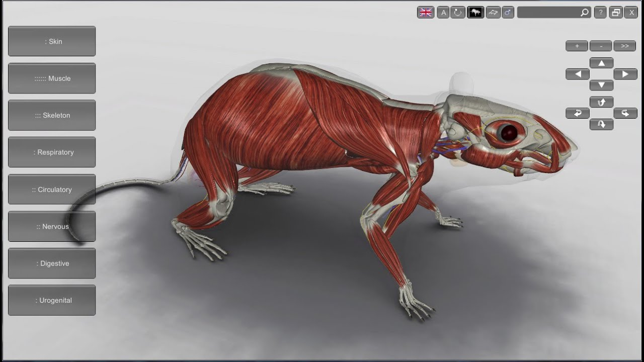 3D Rat Anatomy Software - YouTube