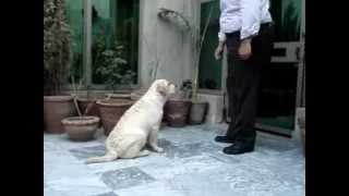 Obedience Training Of Labrador Pup