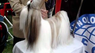 Exposición Kennel Club Chile, La Serena - Shih Tzu