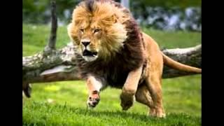 IMÁGENES DE LEONES Y TIGRES|MaNuElBy15