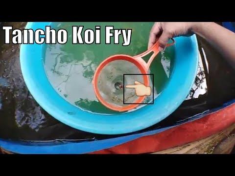 Awesome tancho koi fry